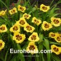 Hemerocallis Jason Salter - Eurohosta