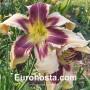 Hemerocallis Julie Newmar - Eurohosta
