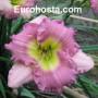 Hemerocallis Lace Babydoll - Eurohosta