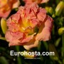 Hemerocallis Lacy Doily - Eurohosta