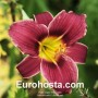 Hemerocallis Little Missy - Eurohosta