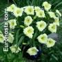 Hemerocallis Longfields Pearl