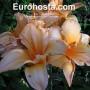 Hemerocallis Look Once Again - Eurohosta