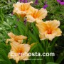Hemerocallis Louise Manelis - Eurohosta
