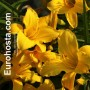 Hemerocallis Mary Tood - Eurohosta