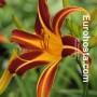 Hemerocallis Stern Von Rio - Eurohosta