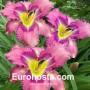 Hemerocallis Mildred Mitchell - Eurohosta