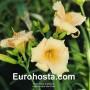 Hemerocallis Mini Pearl - Eurohosta