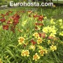 Hemerocallis Mix - Eurohosta
