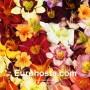 Hemerocallis Mix - Eurohosta