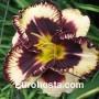 Hemerocallis Moussaka - Eurohosta
