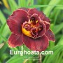 Hemerocallis Night Embers - Eurohosta
