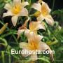 Hemerocallis Nob Hill - Eurohosta