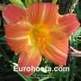 Hemerocallis Orange Sunrise - Eurohosta