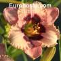 Hemerocallis Orchid Candy - Eurohosta