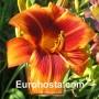 Hemerocallis Outrageous - Eurohosta