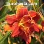Hemerocallis Paprika Flame Eurohosta