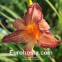 Hemerocallis Pink Stripes - Eurohosta