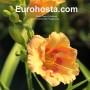 Hemerocallis Playground - Eurohosta