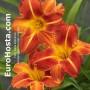 Hemerocallis Princeton Paprika - Eurohosta