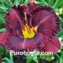 Hemerocallis Purplelicious - Eurohosta