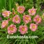 Hemerocallis Romantic Rose - Eurohosta