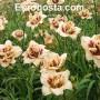 Hemerocallis Roswitha - Eurohosta
