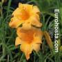 Hemerocallis Ruffled Apricot - Eurohosta