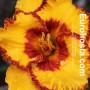 Hemerocallis Set My Soul Afire - Eurohosta
