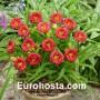 Hemerocallis Siloam Grace Stamile - Eurohosta