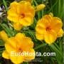 Hemerocallis Siloam Nugget - Eurohosta