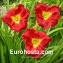 Hemerocallis Siloam Paul Watts - Eurohosta