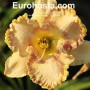 Hemerocallis Sink Into Your Eyes - Eurohosta