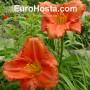 Hemerocallis South Seas - Eurohosta