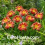 Hemerocallis Startle - Eurohosta
