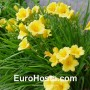 Hemerocallis Stella d´Oro - Eurohosta