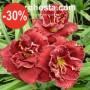 Hemerocallis Stellar Double Rose
