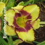 Hemerocallis Steve Trimmer