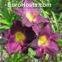 Hemerocallis Strutters Ball - Eurohosta