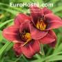 Hemerocallis Tamarine - Eurohosta