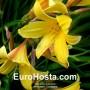Hemerocallis Thumbelina - Eurohosta
