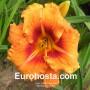 Hemerocallis Tigger - Eurohosta