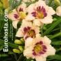 Hemerocallis Wineberry Candy - Eurohosta
