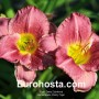 Hemerocallis Cherry Tiger - Eurohosta