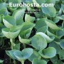 Hosta Mix Eurohosta