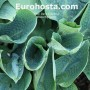 Hosta Big Daddy - Eurohosta