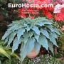 Hosta-Blue-Cascade-Eurohosta
