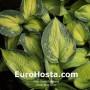 Hosta-Blue-Circle-Eurohosta