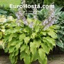 Hosta Choo Choo Train - Eurohosta