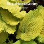 Hosta Cold Heart - Eurohosta